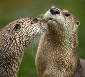 Otter photo by Dmitry Azovtsev - http://www.daphoto.info